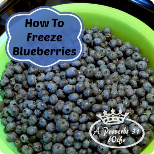 Freezing blueberries for the winter.