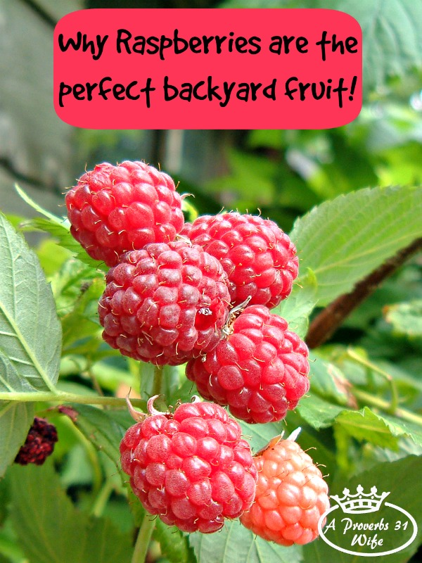 Growing Raspberry Bushes ~Why they're the Perfect Fruit for Backyards.