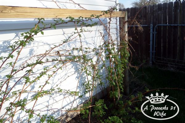 Is growing raspberry bushes easy?