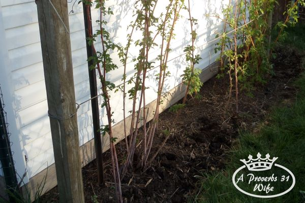 Growing raspberry bushes is easy to do, even on a small lot.