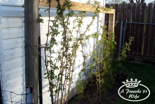 Pruning and growing raspberry bushes