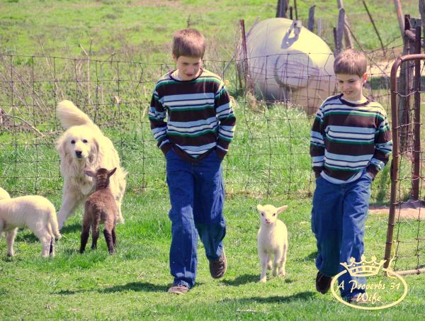 Two boys and lambs