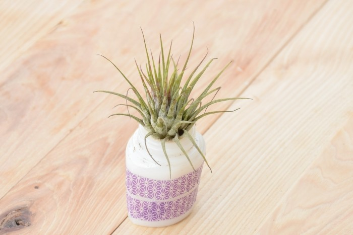 Decorative air plants for gifts