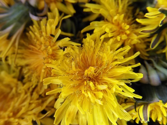 Beautiful dandelion flowers and an easy recipe for fried dandelions