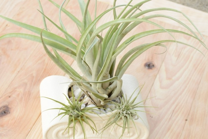 Creative air plant decorations to diy for gifts
